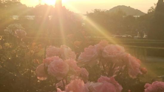 夕日と薔薇