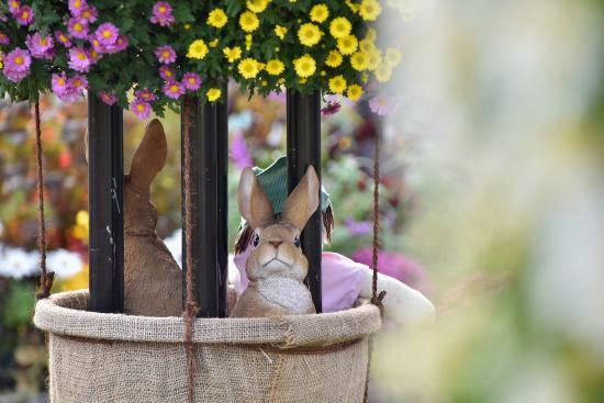 いよいよ見頃!!『菊のトピアリー』