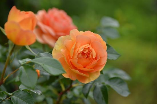 バラの花が咲き進む園内より☆