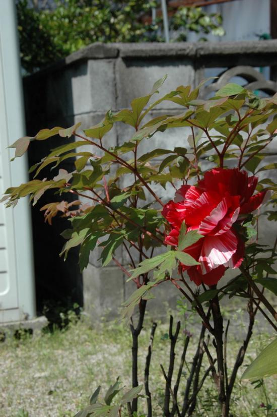 ♪ 花が咲いた花が咲いた 真っ赤な花が・…